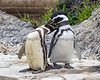 A couple of Magellanic Penguins grooming each other.