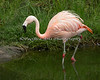 Chilean Flamingo wading in the pond.