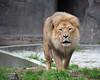 ROOOAAARRR!  (African Lion, Jahari)