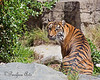 Jillian's stripes (Sumatran Tiger)