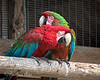 """ A little to the left, please...""<br /> (Green-winged & Hybrid Macaws, Peppy & Irene)"