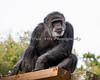 Cobby (Chimpanzee)