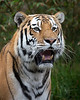 Siberian Tiger, J.T.  Bronevik
