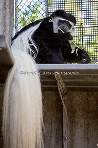 One of the beautiful Black & White Colobus Monkeys.  Love those long tails!