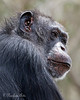 Portrait of Minnie  (Chimpanzee)