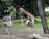 Ingrid, the newest addition to the Giraffe herd, has discovered Ostriches!  Auntie Bititi stands by, watching the action.  (Reticulated Giraffe)