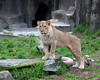 Young male African Lion, Jasiri