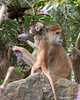 3.  Baby finds that the flowers don't taste as good as he thought.<br /> (Patas Monkeys)