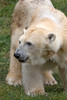 Uulu, the Polar Bear, looks like she's been rolling around in the dirt again!