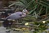 Great Blue Heron (wild)