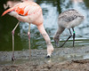 Adult Chilean Flamingo with one of the 3 month chicks.  They're growing so fast!