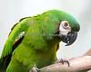Pretty little Severe Macaw, Misha