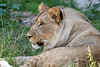 Here's comes the mane!<br /> (13 month old African Lion cub, Jasiri)