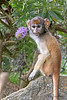 5.  Baby has learned to eat the petals, but not the green part. <br /> (Patas Monkey)