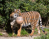 Jillian and her ball. (Sumatran Tiger)
