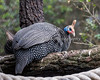 Reichenow's Helmeted Guineafowl in the African Aviary