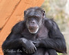 Minnie, a Chimpanzee, looks very thoughtful here.