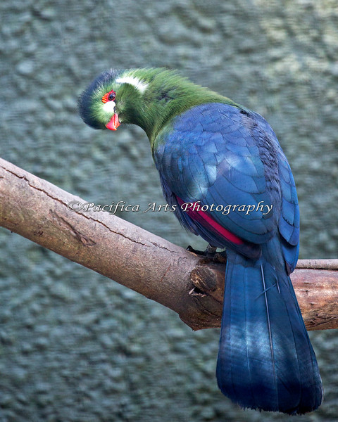 Are you looking at my beautiful feathers?!  <br /> (White-cheeked Turaco,Zabibu)