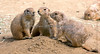 """""""Be quiet - here she comes!""""  (Black-tailed Prairie Dogs)"""