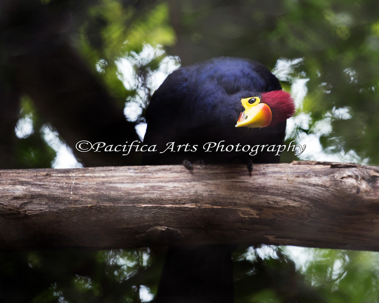 """""""I see youuuuu!""""   (Lady Ross's Turaco)"""
