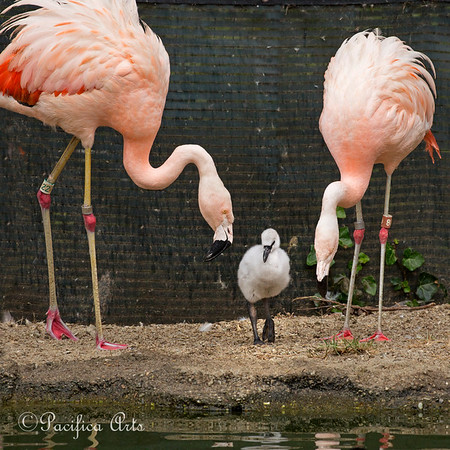 Baby Chilean Flamingos are well watched over!