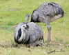 Greater Rheas, with the male sitting on the nest.
