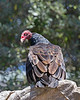 """""""What are YOU looking at?!""""  <br /> (Monty, a Turkey Vulture)"""