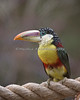 A beautiful little toucan - this is a Curl-crested Aracari