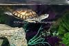 Western Pond Turtle baby