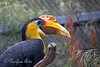 A very colorful Wrinkled Hornbill