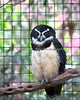 Spectacled Owl, Quetzal