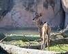 Greater Kudu calf - the other end!