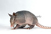 Nine-banded Armadillo, Chester