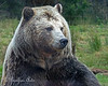 """Kachina  (Grizzly Bear)  """"Here's my right side..."""""""