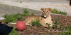 Cubby with one of his toy balls.  (African Lion)