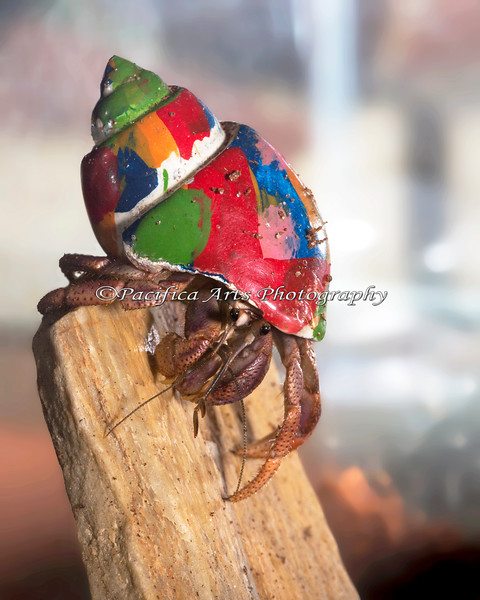 Hermit Crabs are great climbers!