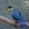 Here's one of my favorite little birds - a White-cheeked Turaco, by the name of Zabibu!