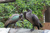 One of the parent Hadada Ibises (on left) tending to its chick, who's just as big as itself!