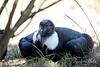 Andean Condor, Claudia