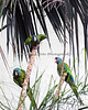 Never a dull moment with these three!  (Blue-headed Macaws)  When you are in the South American Aviary, look up, and they will be there!