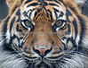 Sumatran Tiger, Jillian, up close!