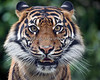 Face to face with Jillian - with a big piece of glass in between!  (Sumatran Tiger)