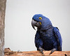 """Hey there!""  (Hyacinth Macaw)"