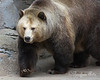 Love those thick winter coats they grow!  (Grizzly Bear, Kachina)