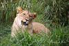 Jasiri chewing on a stick.  He will be growing in some bigger teeth soon!  (African Lion)