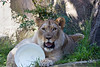 For his 1st birthday party, the Keepers put out presents with treats inside, specially scented things, and a stand up cardboard elephant.  Oh, and streamers too!  And what does Jasiri play with?  An empty bucket!  :D<br /> (African Lion)