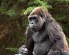 Female Western Lowland Gorilla, Monifa