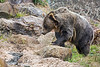 Grizzly Bear, Kiona, searching for tasty tidbits hidden among the rocks.