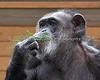 I think Maggie likes this stuff!  (Chimpanzee)