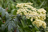 I found this beautiful flowering tree across from Wolves.  (possibly a Red Elderberry)